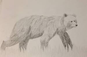 Bear-pencil drawing