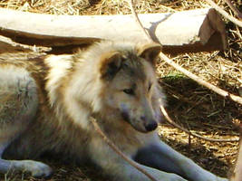 Timber Wolf by Lonelyisonlyastate