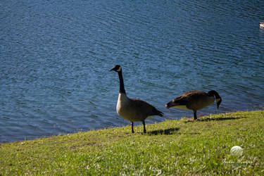Geese at the Lakeside 2 by meunierjj