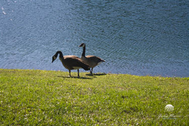 Geese at the Lakeside 5 by meunierjj