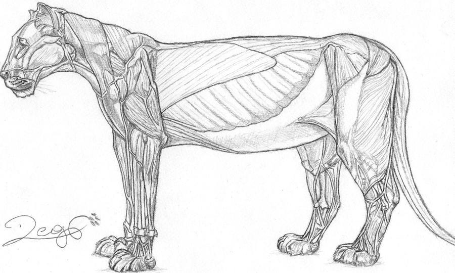 Lion Anatomy by RockheadGirl on DeviantArt