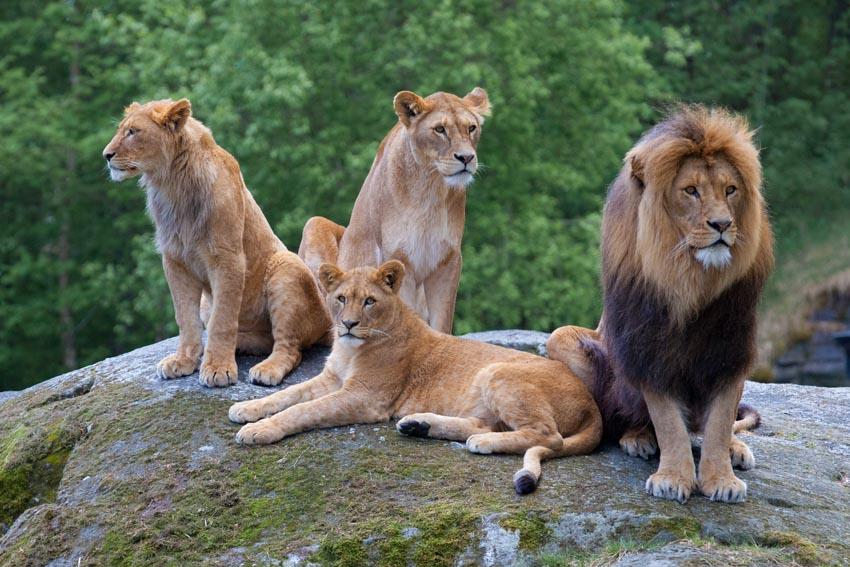 Lion Family Portrait by Lion Family