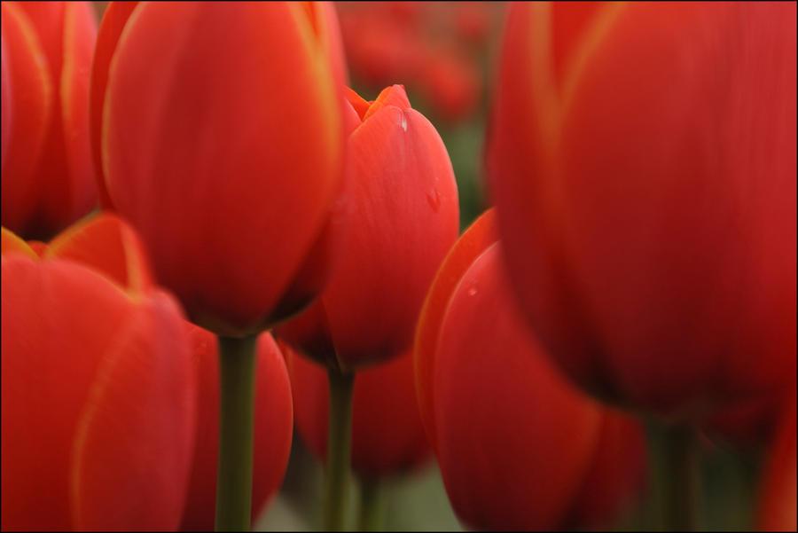 Tulip Baby by Eruwyn