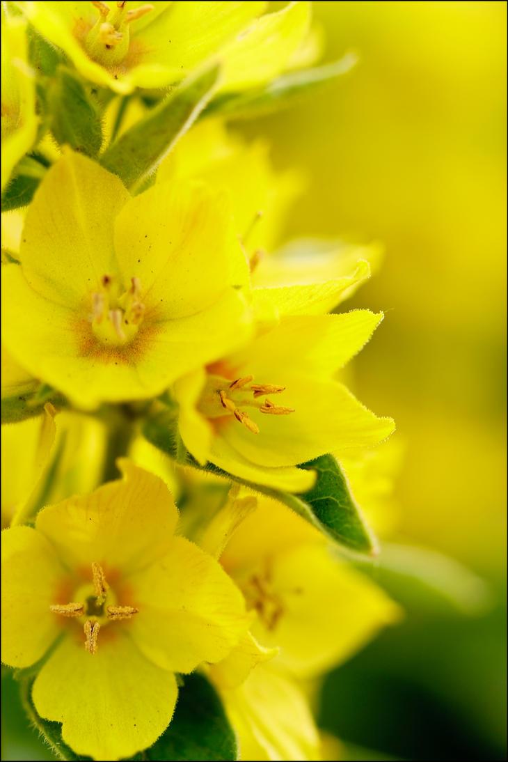 Yellow by Eruwyn
