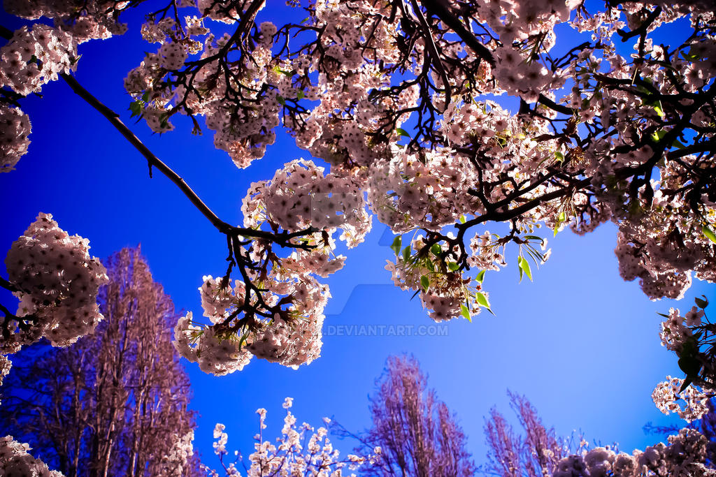 White Cherry Blossoms by AXL23