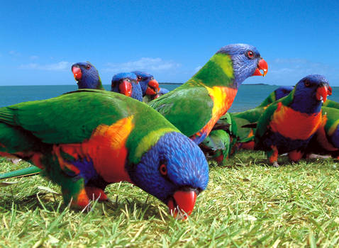 Rainbow Lorikeet, Clairview, Queensland, Australia
