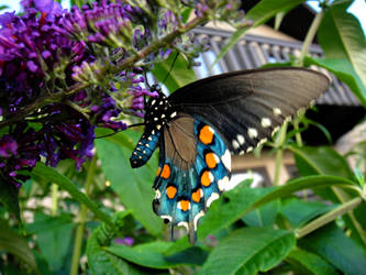 Spicebush Swallowtail by TrekkieTechie
