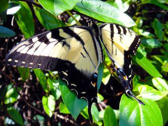 App. Tiger Swallowtail 2 by TrekkieTechie