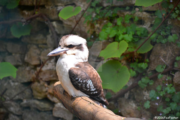(SILENT) Laughing Kookaburra by MrWitchblade