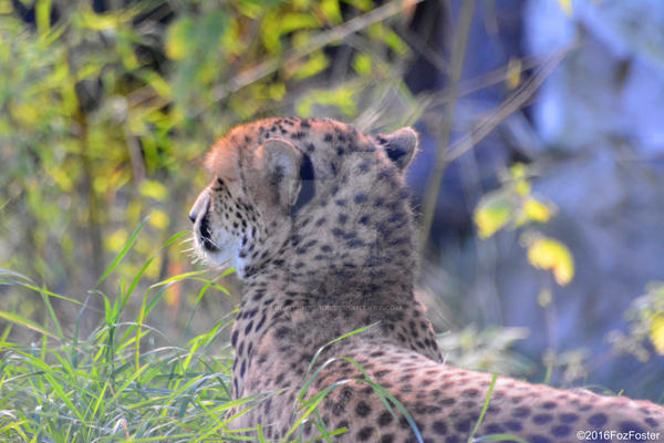 Chilling Cheetah by MrWitchblade