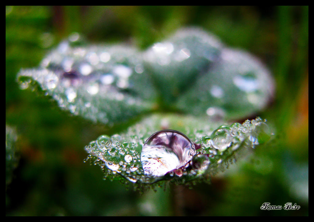 morning dew by tomaspedro