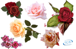 Roses - PNG