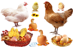 Cute chicks - PNG