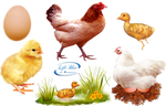 Chicks and chickens - PNG