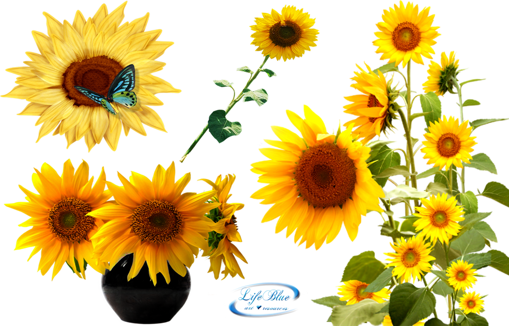 Sunflowers - PNG by lifeblue on DeviantArt