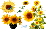 Sunflowers - PNG