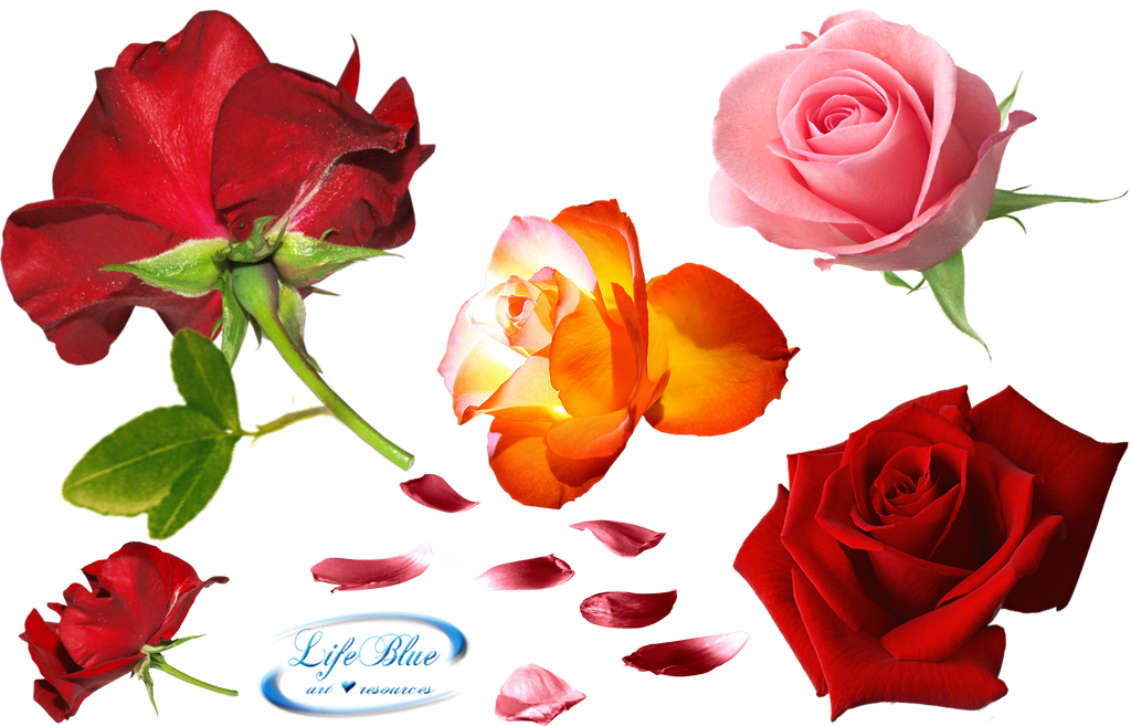 Roses everywhere - PNG