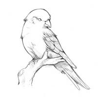 little birdie sketch