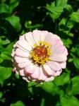 Pale Pink Zinnia 28-July-2020