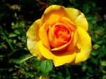 Yellow Rose 14-Aug-2020