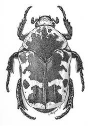 Paragymnetis flavomarginata by JoeMacGown