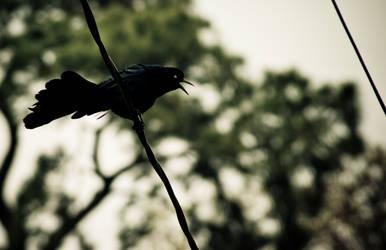 Brewer's Blackbird by hhjr
