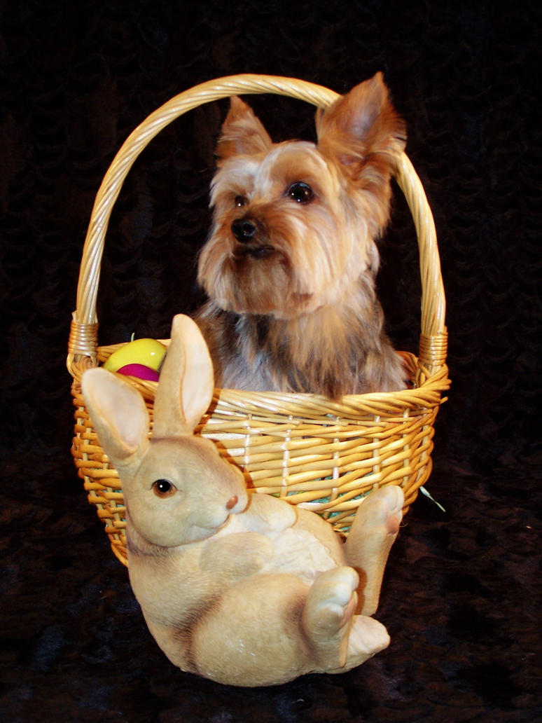 1000 Images About Yorkies Easter On Pinterest