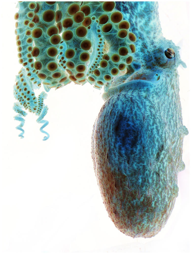 Negative Octopus by sarahredhead