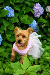 Angel the Yorkie by sarahredhead