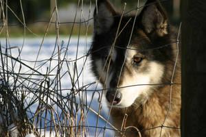 Tasha the Wolf