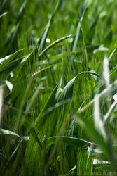 Wheat: Green by iPanic