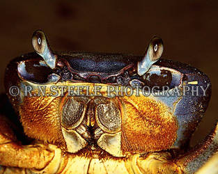 Giant Blue Land Crab by RNSteele-Photography