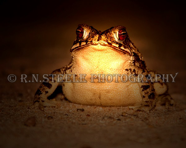 Gulf Coast Toad by RNSteele-Photography