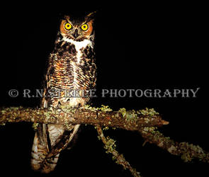 Great Horned Owl by RNSteele-Photography