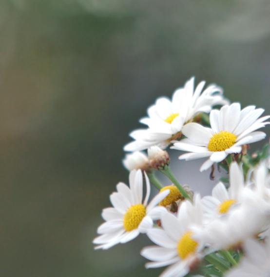 Daisies. by moodysnap
