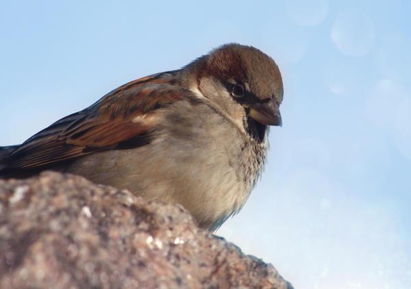 sparrow by cloe-patra