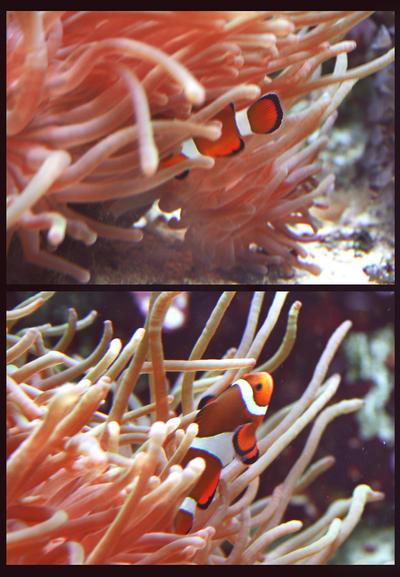 clownfish by cloe-patra