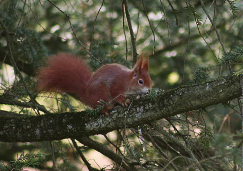 squirrel by cloe-patra