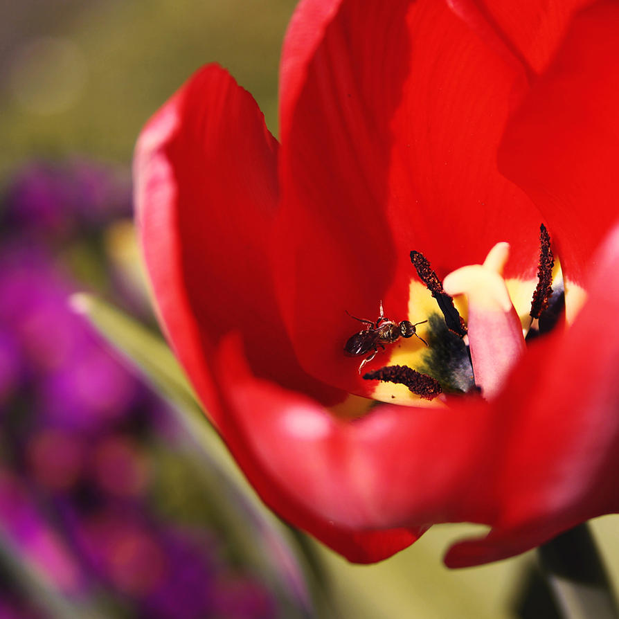tulip by cloe-patra