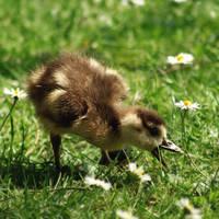 young goose vs daisy by cloe-may