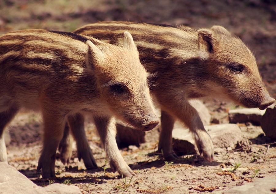 young wild boars by cloe-patra