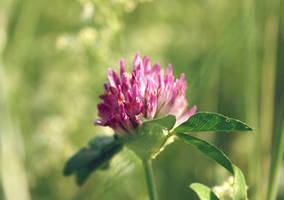 red clover by cloe-may
