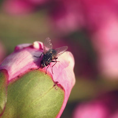 fly on a rose by cloe-patra