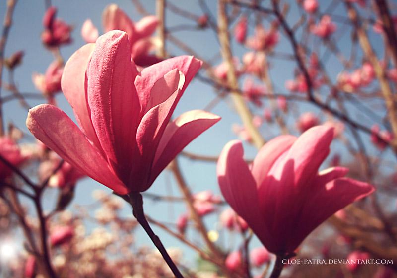 magnolia by cloe-patra