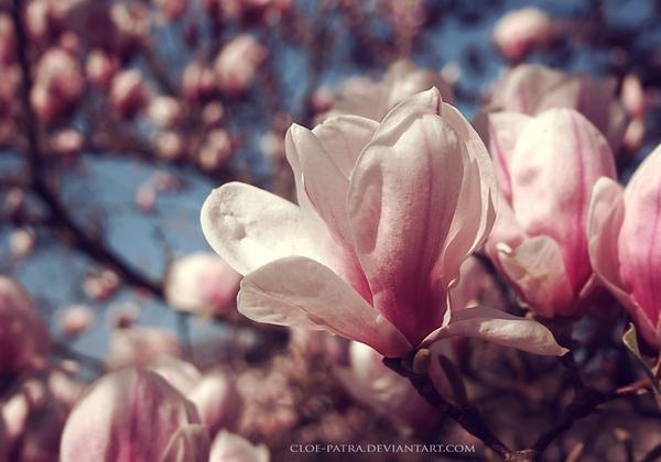 magnolia2 by cloe-patra