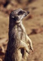 meerkat by cloe-may