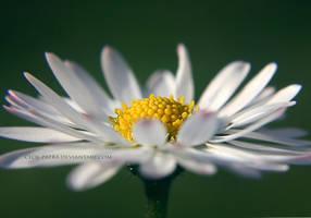 daisy by cloe-may