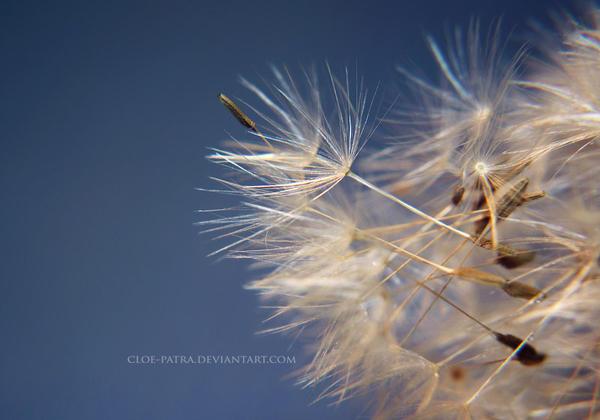 dandelion by cloe-patra