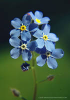 forget-me-not by cloe-may