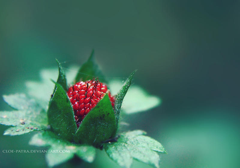 wild berry by cloe-patra